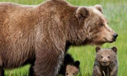 """""""Non si uccide un orso"""". Gli Amici del Randagio si schierano"""
