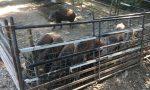 Fattoria delle Coccole: è scontro tra gli animalisti