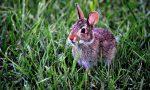 Macabro ritrovamento a Orsenigo: coniglio ucciso e appeso nel bosco