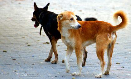 """Volpi positive al cimurro a Como. Ats: """"Virus non si trasmette all'uomo ma attenzione ai cani"""""""