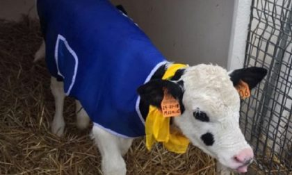 Freddo siberiano in campagna cappotti per i vitellini
