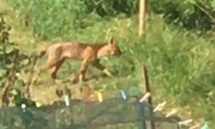 """Felino misterioso nei boschi: """"Potrebbe essere un ibrido"""""""
