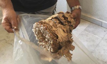 Maxi nido di calabroni in casa interviene la Protezione civile