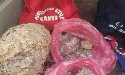 Rimozione nidi di vespe e calabroni: Protezione Civile di Cantù impegnatissima FOTO