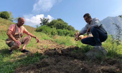 """Cinghiali, da Lecco a Como è emergenza. """"Le imprese agricole  rischiano il collasso"""" FOTO"""