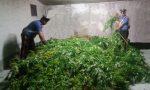 Scoperta una maxi piantagione di marijuana lungo la Statale 36