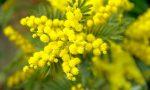 Confesercenti Como contro i venditori abusivi di mimose dell'8 marzo