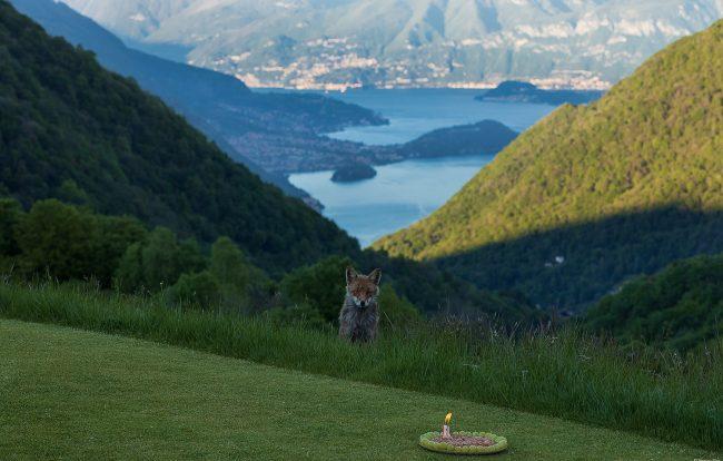 Un anno di noi: Maurizio festeggia con la volpe Guendalina dodici mesi d&#8217&#x3B;amicizia FOTO