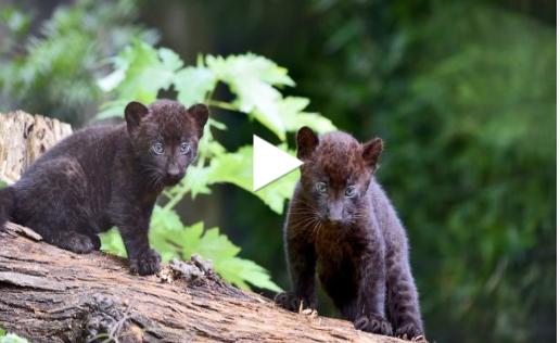 """Sono nati due cuccioli di pantera nera alle """"Cornelle"""" VIDEO TENERISSIMO"""