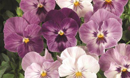 """""""100 sfumature di viole"""", una mostra per gli appassionati di fiori"""
