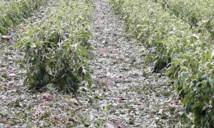 Il maltempo flagella anche campi e coltivazioni FOTO