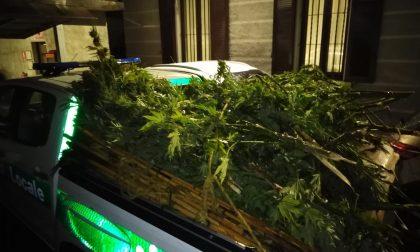 Tre piantagioni di marijuana in Alto Lago: sequestrati oltre 120 chilogrammi di droga FOTO