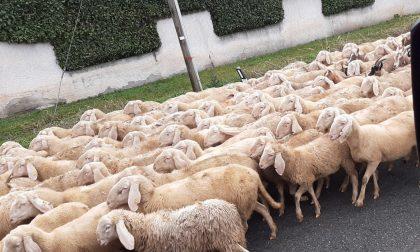 Inaspettata invasione di pecore a Limido Comasco FOTO