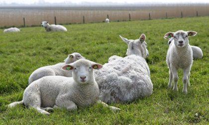 """Rubate 400 pecore a Luisago, il proprietario: """"Persi 70-80mila euro"""""""