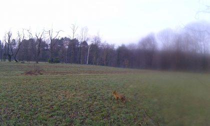 Spunta una volpe nei boschi vicino a Brenna