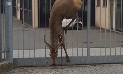 Cervo infilzato in una cancellata di Mozzate: inutili i tentativi di soccorso