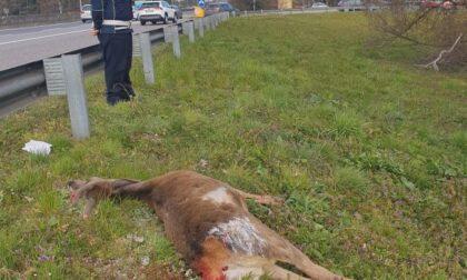 Cervo muore investito sulla Milano-Meda