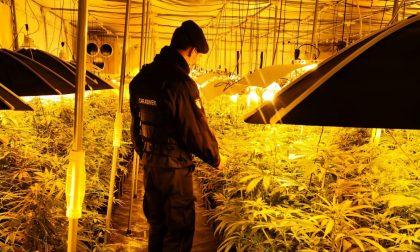 Coltivavano (con cura) oltre 600 piante di marijuana in un capannone: arrestati due uomini di Lomazzo e Varese
