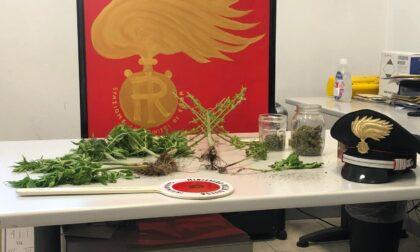 Marijuana, cannabis e kratom a casa: denunciato 26enne comasco