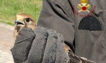 Falchetto gheppio soccorso dai Vigili del Fuoco: ora sarà la Lipu a curarlo
