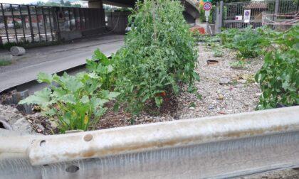 Ponte Chiasso, voglia di pomodori e zucchine? In via Baragiola il misterioso ortista coltiva nello spartitraffico