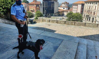 Spaccio a Cantù: i controlli della Polizia locale con l'unità cinofila