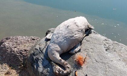 Cigno muore impigliato nell'amo di un pescatore