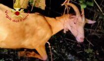 Salvata capra che aveva la testa bloccata in una staccionata